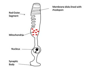 The Rod Photoreceptor Cell